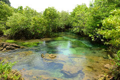 Mangrove Forests Stock Photography