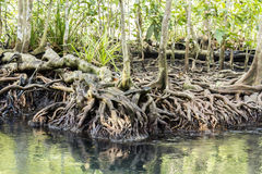 Mangrove forests in Krabi ,Thailand Royalty Free Stock Photo