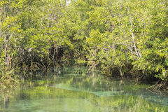 Mangrove forests in Krabi ,Thailand Royalty Free Stock Image