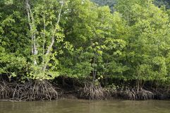 Mangrove Forests  in  Langkawi Malaysia. Stock Photos