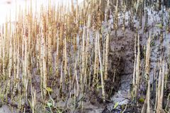 Mangrove forests and natural mangrove forests. Of Thailand Stock Photography