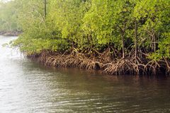 Mangrove forests with river and green tree. Andaman and Nicobar Islands. Mangrove roots with water. impenetrable jungle stock photography