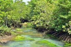 Mangrove forests Stock Image