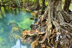 Mangrove forests. ( swamp ) with Stream Royalty Free Stock Photo