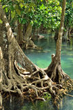 Mangrove forests. ( swamp ) with Stream Royalty Free Stock Image