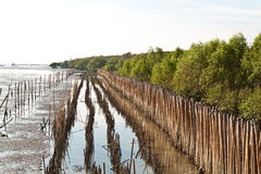 Mangrove forests. The mangrove forests in thailand Stock Image