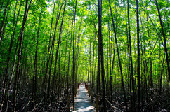 The Mangrove Forests Royalty Free Stock Image
