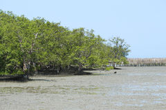 Mangrove forrest Royalty Free Stock Photos