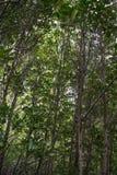 Mangrove forsten auf lizenzfreie stockbilder