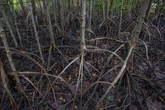 Mangrove forsten auf Lizenzfreie Stockfotos