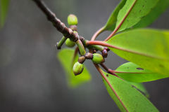 Mangrove fruit. Mangrove young fruit in Botanical garden at noon Royalty Free Stock Photo