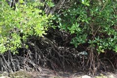 Mangrove grove royalty free stock images