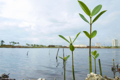 Mangrove growing. Mangrove in Cancun Mexico Royalty Free Stock Photo