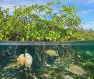 Mangrove half en half met vissen en kwallen stock fotografie