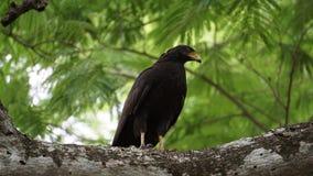 Mangrove Hawk Royalty Free Stock Image