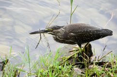 Mangrove Heron bird walks by lake Royalty Free Stock Photography