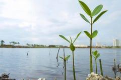 Mangrove het groeien Royalty-vrije Stock Foto
