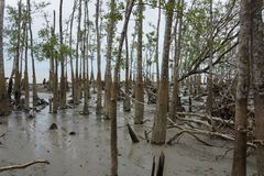 Mangrove in het Nationale Park van Sundarban Stock Foto's
