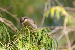 Mangrove Honeyeater bird perching on bottlebrush branch in forest, Western Australia royalty free stock photo