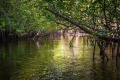 Mangrove i Indonesien Royaltyfria Bilder