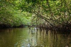 Mangrove i Indonesien Arkivfoton