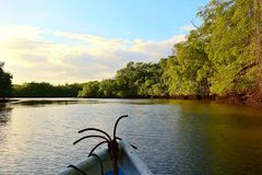 Mangrove im Tamarindo Stockfotografie