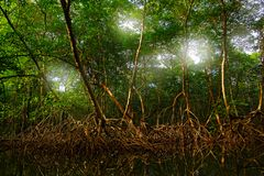 Free Mangrove In Caroni Swamp And The Bird Sanctuary, Home To Trinidad And Tobago`s Scarlet Ibis Bird. Mistic Forest Landscape From Ca Stock Images - 127002564