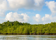 Mangrove in Indonesië Stock Afbeelding