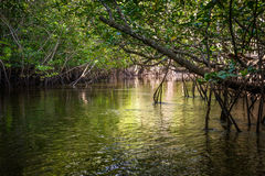 Mangrove in Indonesia Royalty Free Stock Images