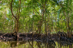 Mangrove in Indonesien Lizenzfreies Stockfoto
