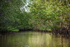 Mangrove in Indonesien Stockbild