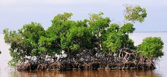 Mangrove Island Stock Photography