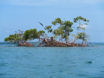 Mangrove island with sea birds Stock Image