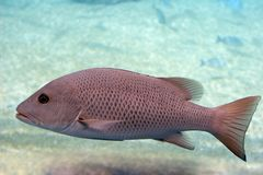 Mangrove jack. In open water Stock Photo