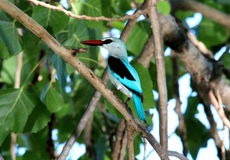 Mangrove Kingfisher in South Africa Stock Image