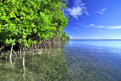 Mangrove lagoon Royalty Free Stock Photo