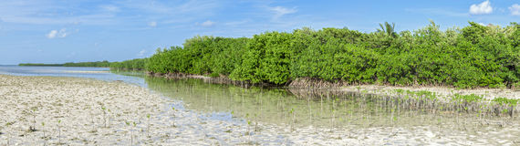 Mangrove lagoon panoramic Stock Image