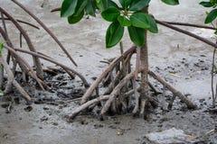 Mangrove Royalty Free Stock Image