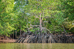 Mangrove at low tide. Revealing trees roots royalty free stock images
