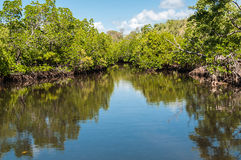 Mangrove. Stock Images