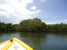 A mangrove in a mangrove swamp. In the National Park `Laguna de la Restinga` Nueva Esparta, Venezuela royalty free stock photography