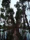 Mangrove. The mangroves in the natural fish pool, the village of Tegal, Central Java, Indonesia Stock Photo