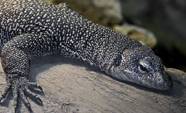 Mangrove monitor 1 Stock Photos