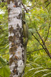 Mangrove Monitor Lizard On Tree. A picture of a Mangrove monitor lizard climbing up a tree Stock Images
