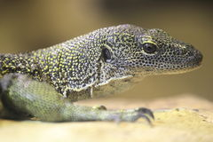 Mangrove monitor lizard Stock Photos