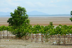 Mangrove mudflats Royalty Free Stock Images
