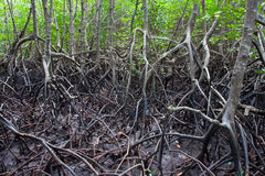 Mangrove national park. Mangrove in Thailand mangrove national park image Stock Image