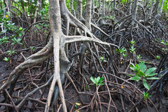 Mangrove national park. Mangrove in Thailand mangrove national park image Royalty Free Stock Photos