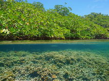 Mangrove over water and coral reef underwater Royalty Free Stock Images