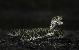 Mangrove Pit Viper gaping Royalty Free Stock Photography